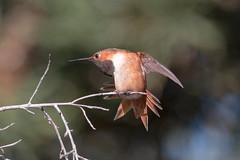 IMG_1382.jpg  Allen's Hummingbird, UCSC Arboretum
