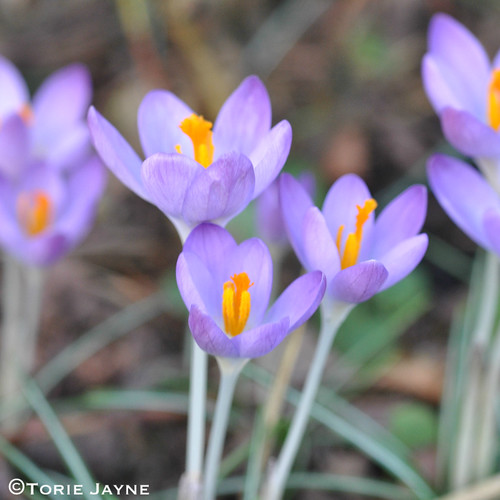 'Barr's Purple' Crocus