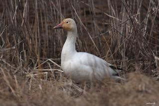 """""""Snow Goose"""" """"Chen caerulescen"""""""