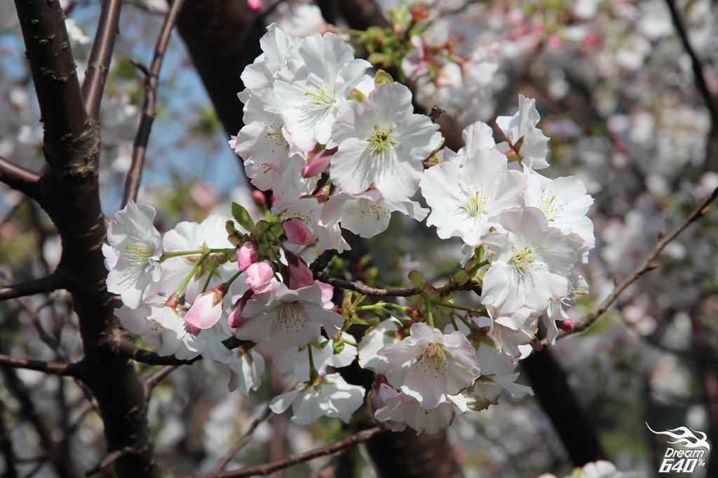2015楓樹湖木蓮花19