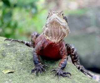 Eastern Water Dragon, Physignathus lesueurii lesueurii
