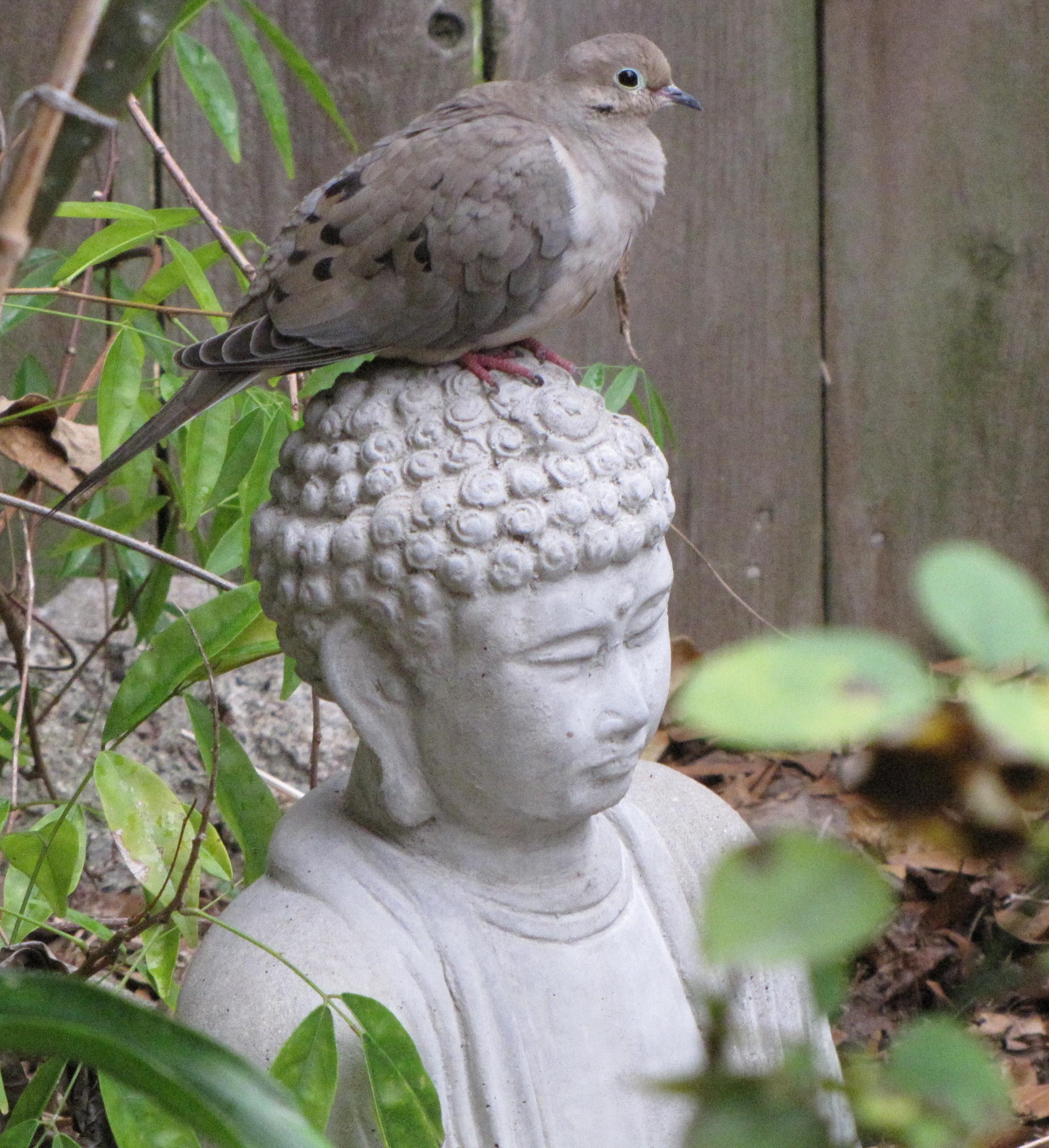 BuddhaDove
