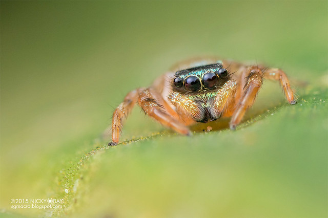 Jumping spider (Thiania sp.) - DSC_4577