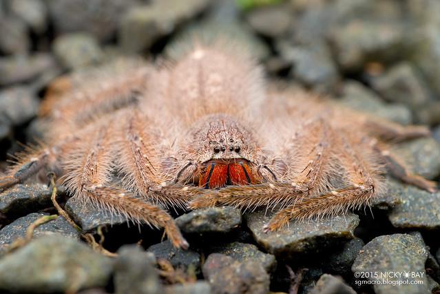 Huntsman spider (Heteropoda sp.) - DSC_4428