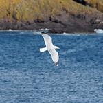 Möwe im Flug vor schottischer Küste