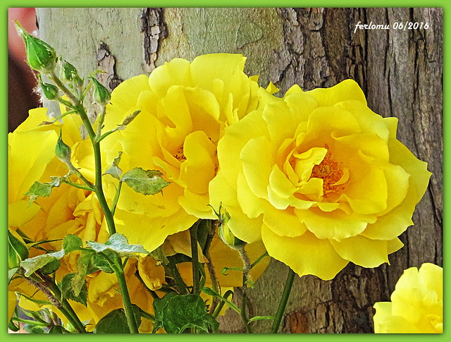 Toro (Zamora) 03 rosas amarillas