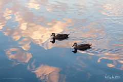 Water reflection ducks