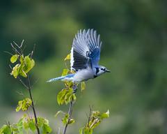 Fall Blue Jay