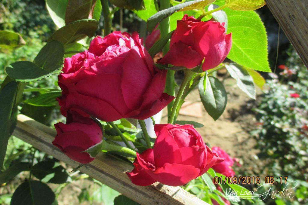 hoa hong leo red eden rose 1111 (9)-vuonhongvanloan.com