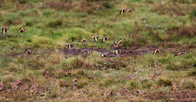 A Charm of Goldfinch, Donna Nook
