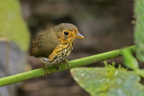 ecuador birding aves birdwatching avesdecolombia birdsofcolombia birdingcolombia