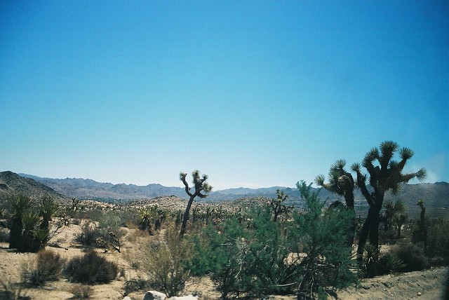 Joshua Tree with Quilt