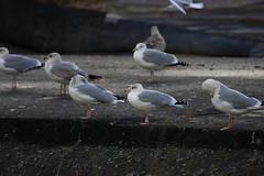 Goéland argenté - Larus argentatus - Herring Gull