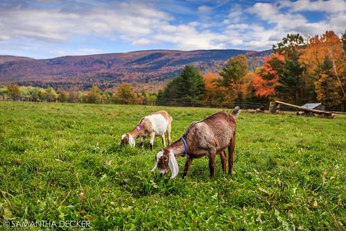 autumn fall manchester vermont goats canonef1740mmf4lusm vt hildene canoneos6d samanthadecker