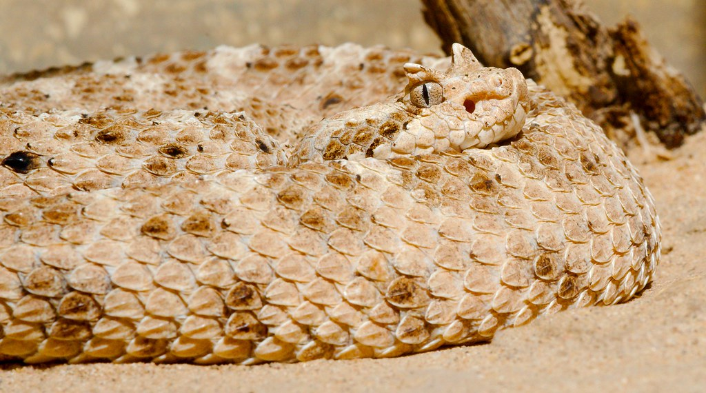 Sonoran Desert Sidewinder (Crotalus cerastes cercobombus)