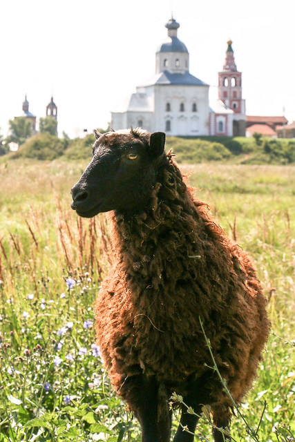 A sheep posing to my camera, Suzdal, Russia スズダリ、カメラの前でポーズを取る羊ちゃん