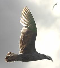 seagull (6)