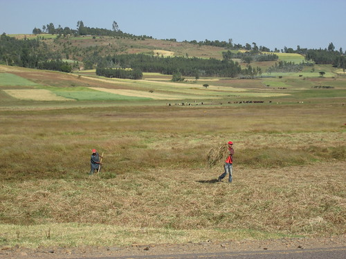Harvesting hay in West shoa zone, Oromia (photo:ILRI\Abule Ebro).
