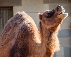 alpaca(0.0), mane(0.0), llama(0.0), animal(1.0), mammal(1.0), fauna(1.0), camel(1.0), arabian camel(1.0),