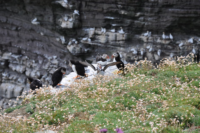 Puffins at the Shetland Is