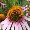 Echinacea Purpurea #nofilter