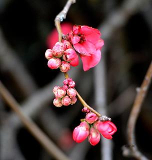 Le cognassier du Japon fleurit , le printemps est là