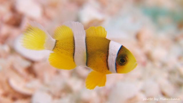 マクロレンズ付けて撮影してみたクマノミ幼魚(全長約1cm)