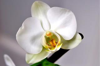 White Orchid - Phalaenopsis 0255