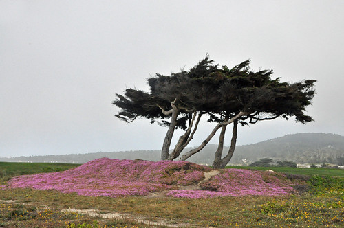 The Carpet and the Monterey Cypress Trees