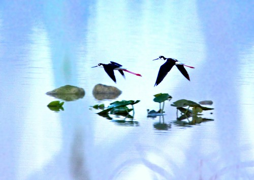 Black-necked Stilts HDR 20150320