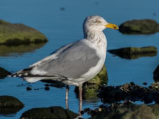 Herring gull, Cove Island