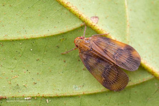 Planthopper (Tropiduchidae) - DSC_4559