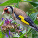 Goldfinch (Carduelis carduelis) by another walt