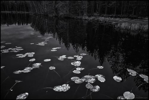 näckros näckrosor waterlilies monochrome monokrom svartvit blackandwhite bw sv lake sjö skog forest gräs grass blad leaves dark mörk höst autumn fall sony rx100 spegling reflection