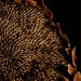 Sunflower by kfpsardou
