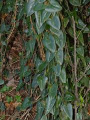Rough Bindweed (Smilax aspera)