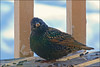 Curious European Starling