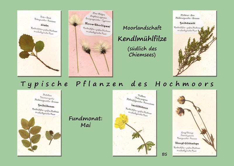 Pflanzen des Hochmoors Moorlandschaft Kendlmühlfilze Elefantendungpapier gepresste Pflanzen Brigitte Stolle