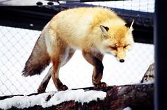 Asahiyama Zoo, Asahikawa, Hokkaido, Japan, 旭山動物園, 旭川, 北海道, 日本, あさひかわし, ほっかいどう, にっぽん, にほん