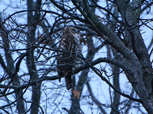 Riverside Red-Tail — 4618