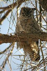 Windswept Owl