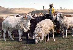 Tue, 01/20/2015 - 05:24 - Species name: Sheep (photo credit: ILRI).