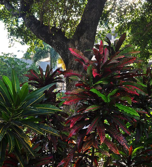 Codiaeum (Croton) (2)