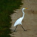 Great Egret by Matt (mistergoleta)