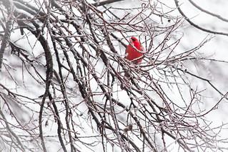 Icy Cardinal