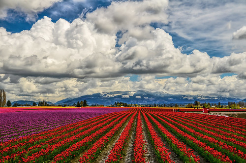 red mountains clouds washington tulips rows skagit skagitvalleytulipfestival lightroom photoshopelements roozengaarde martinsmith nikon18200mmvrii nikond7000 landinglightsforbees ©martinsmith