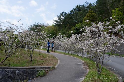 クメノサクラ | Okinawa, Japan 31
