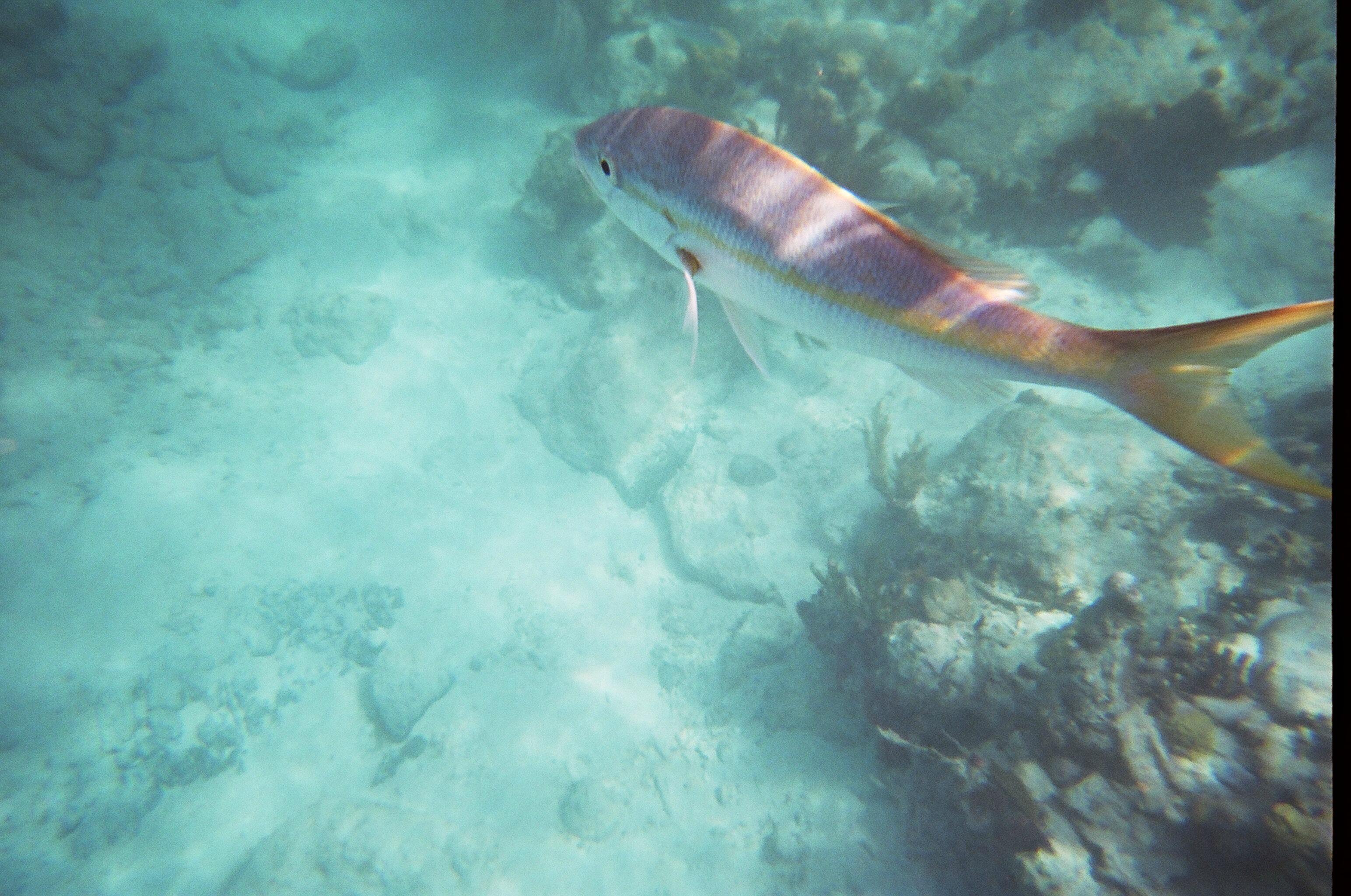 Yellowtail Snapper Trunk Bay, St. John, USVI