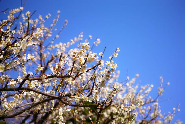 20150227_01_Plum blossom