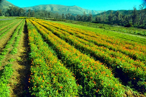california morning flowers winter digital photo wildflowers irvine californiapoppies nativeseedfarm